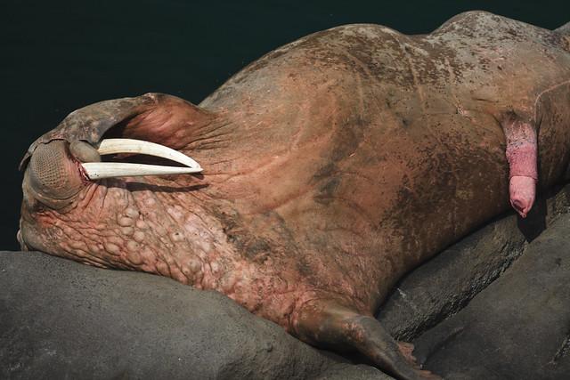 mammal largest penis