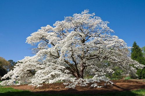 white tree spring huntsville blossoms alabama bluesky dogwood botanicalgarden