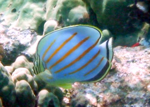 Honaunau Bay--Ornate Butterflyfish zoom