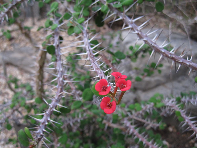 This Euphorbia milii or Crown-of-Thorns is a woody succulent native to Madagascar. It blooms year round in the Desert House of the Steinhardt Conservatory. Photo by Rebecca Bullene