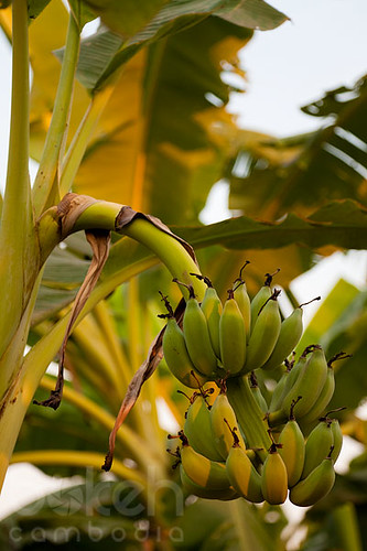 4459691140 3bacbcb5f8 jpgYellow Banana Tree
