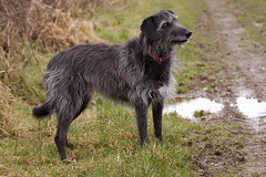 animal sports(0.0), cesky fousek(0.0), curly coated retriever(0.0), irish wolfhound(0.0), blue picardy spaniel(0.0), patterdale terrier(0.0), flat-coated retriever(0.0), mudi(0.0), dog breed(1.0), animal(1.0), dog(1.0), scottish deerhound(1.0), pet(1.0), german wirehaired pointer(1.0), carnivoran(1.0),