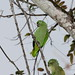 Small photo of Mealy Parrot (Amazona farinosa)