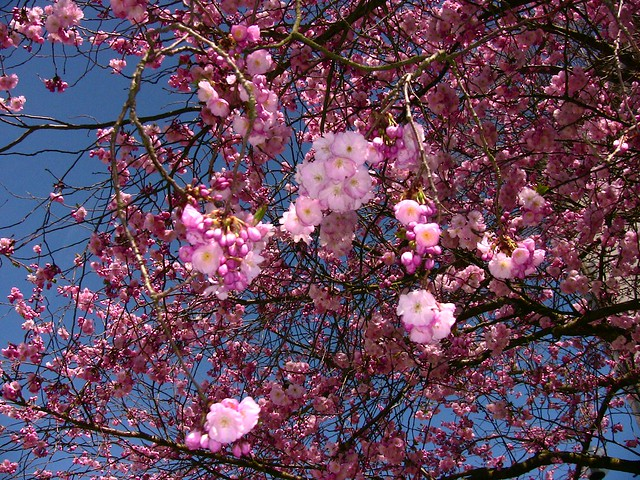 Rosa Blühende Bäume April : endlich fr hling rosa bl hende b ume 254 a photo on flickriver ~ Michelbontemps.com Haus und Dekorationen