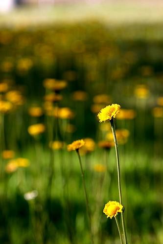 yellow dof fields 365 wildflower selectivefocus