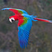 Green-winged Macaw in Flight by sypix