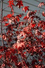 shrub(0.0), flower(0.0), tree(0.0), rowan(0.0), autumn(0.0), branch(1.0), leaf(1.0), red(1.0), plant(1.0), flora(1.0), maple leaf(1.0),