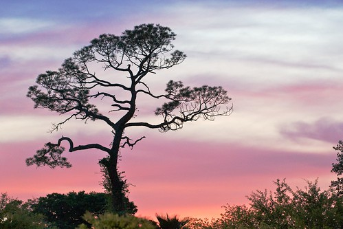 sunset sky tree silhouette landscape colorful florida outdoor scene explore frontpage staugustine project365 explored scrubpine nikond60 afsvrzoomnikkor70200mmf28gifed 107365