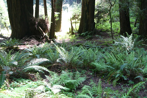 Forest Floor and Ferns