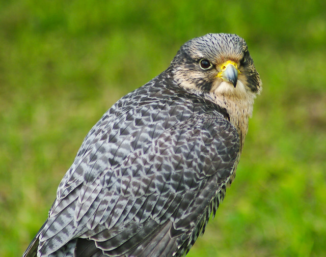 Hybrid Peregrine Falcon