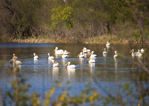 lake pelicans water birds southdakota spring pelican trippcounty rahnlake