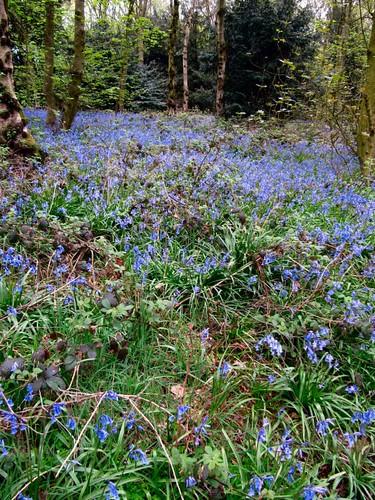 Bluebells 1.Carnfield