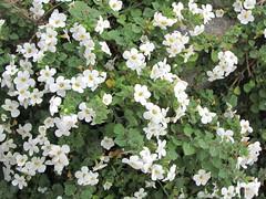 jasmine, rosa wichuraiana, shrub, flower, plant,