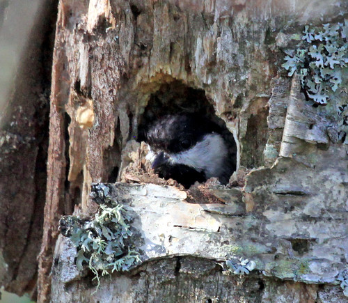 Black-capped Chickadee nest