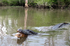 Louisiana - Slidell: Dr. Wagner's Honey Island Swamp Tours - El Guapo
