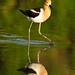 Avocet in the green
