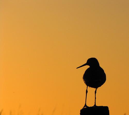 bird silhouette sunrise golden gouden vogel zonsopkomst