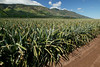 Pineapple field, Maui, Hawaii
