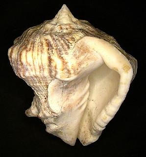 Vasum rhinoceros (Gmelin, 1791)