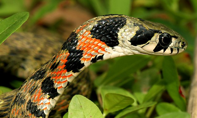 Tiger Keelback Snake