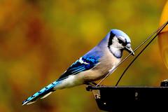 branch(0.0), chickadee(0.0), emberizidae(0.0), wildlife(0.0), animal(1.0), wing(1.0), fauna(1.0), finch(1.0), blue jay(1.0), beak(1.0), bird(1.0),