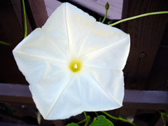 Pearly Gates Morning Glory