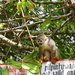 animal, rainforest, branch, monkey, mammal, squirrel monkey, fauna, new world monkey, jungle,