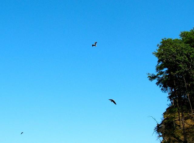 eagles soaring over the cliffs