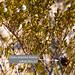Small photo of Creosote Bush