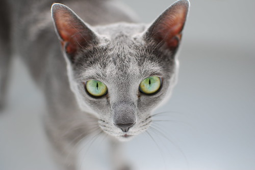 Ivan the Russian Blue