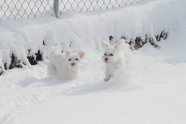 Two cute Maltese puppies running in the snow