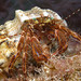Hermit Crabs - Photo (c) Philippe Guillaume, some rights reserved (CC BY-NC-ND)