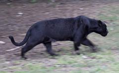 Black Jaguar on the move