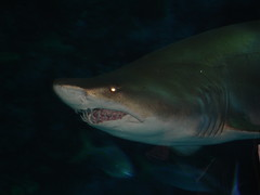animal, fish, great white shark, shark, marine biology, lamniformes, underwater, requiem shark, tiger shark,