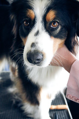 dog breed, animal, dog, appenzeller sennenhund, pet, mammal, greater swiss mountain dog, miniature australian shepherd, australian shepherd, bernese mountain dog,