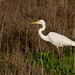 Great Egret at the Palo Alto Baylands