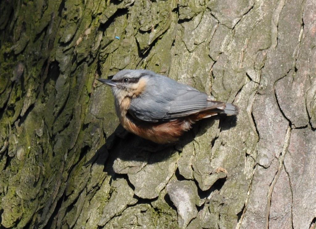 Identification oiseau gris et orange et d 39 une oie parc for Petit oiseau gris