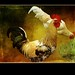 Mr. and Mrs. Rooster by Nancy Violeta Velez
