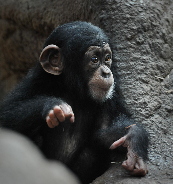 Baby Chimp (D7A2665) | Flickr - Photo Sharing!