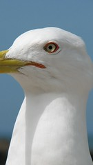 albatross(0.0), wing(0.0), great black-backed gull(0.0), animal(1.0), charadriiformes(1.0), white(1.0), fauna(1.0), close-up(1.0), european herring gull(1.0), beak(1.0), bird(1.0),