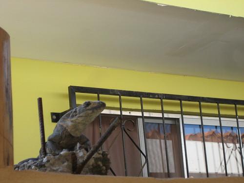 iguana, playa brasilita, fauna, lizard, cos… IMG_2154