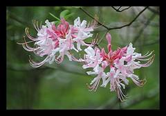 honeysuckle, flower, plant, wildflower, flora,