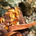 Eye of Newt (California Newt--Taricha torosa)