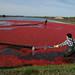 Récolte de canneberges / Cranberry Harvesting