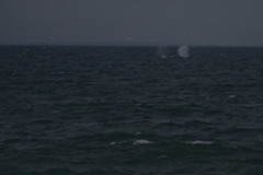 2010411 - Right Whales off Provincetown