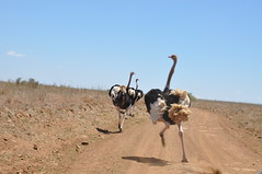 Ostriches, the largest (and fastest) living species of birds - Nairobi National Park