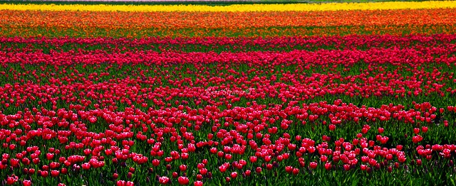 Enjoying a field of colors.