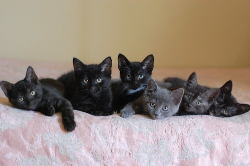 From Left to right, our current foster kittens: Ridley, Ezra, Gia, Thelma, Fern and Pia Lyttelton.    Pia and Gia are yet to be spoken for... let us know if you need a pair of sweet, adorable kitties.
