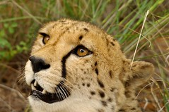 animal, cheetah, small to medium-sized cats, snout, mammal, fauna, close-up, whiskers, safari, wildlife,