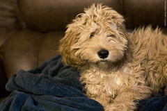 miniature poodle, dog breed, animal, puppy, dog, schnoodle, pet, norfolk terrier, glen of imaal terrier, mammal, poodle crossbreed, havanese, dandie dinmont terrier, lakeland terrier, irish soft-coated wheaten terrier, cockapoo, goldendoodle, cavapoo, terrier,